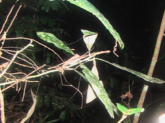 Try to find the stick insect