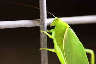 Australie-Grasshoper