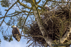 2015-02-22 Ladner Bald Eagles and Nest-6 (Michael Schmidt Photography Vancouver) Tags: blue 2 two orange brown black tree green bird yellow clouds photography parents artwork beige sitting nest beak wallart raptor perched birdofprey pictureperfect talons geolocation giclee photoprints ladnerbc canvasart baldeaglehaliaeetusleucocephalus matingpair canvasprints geocity exif:make=sony geocountry camera:make=sony southdeltabc geostate exif:focallength=160mm exif:aperture=ƒ90 exif:model=slta77v camera:model=slta77v michaelschmidtphotographyvancouverbc wwwmichaelschmidtphotographycom httpwwwflickrcomphotosdmichaelschmidtsets exif:lens=70400mmf456gssm exif:isospeed=50 dmschmidtshawca httpswwwfacebookcommsphotographyvancouver httpswwwthisiswhatiseeca michaelmspixca geo:lon=12312591833333 geo:lat=49079763333333