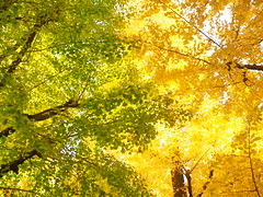 boundary (torisandaisuki) Tags: fall japan ginkgo olympus 2014 200mm em10 keiouniversity