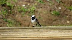 Alvéola-branca / White wagtail (Ricardo B. Salgueiro) Tags: parque bird portugal nature branco alba natureza bonito preto ave entroncamento