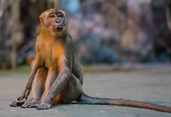 Batu Caves Monkey (Seen in Explore 3-2-15) (johnnyarmaosphotography) Tags: monkey asia southeastasia bokeh sony malaysia kualalumpur batucaves macaque a7ii emount