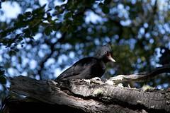 Magellanic woodpecker (ramosblancor) Tags: patagonia naturaleza nature argentina birds female woodpecker wildlife young aves chick andes animales pollo joven carpintero hembra magellanic nothofagus campephilus magellanicus campephilusmagellanicus magallánico cammag