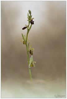 Orchidea Medea