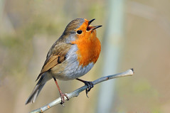 A vida é música - Life is music (Yako36) Tags: bird belgium bruxelles ave birdwatching tc14e nikonafs300f4 nikond300 keyenbempt