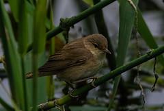 Reed warbler (heather.rigg) Tags: outdoor wildlife cleethorpes smallbirds reedwarbler