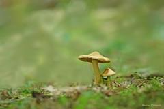 Mushrooms (Darea62) Tags: mushroom nature summer wood fungi funghi