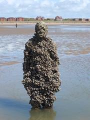 DSCF0732 (SierPinskiA) Tags: sea shells beach liverpool sand ironman pools barnacles ironwork mayday seashore merseyside anthonygormley irishsea 2016 anotherplace crosbybeach blundellsands fujixs1