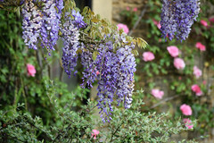Bakers House - Open Garden in Shipley, Sussex (Mark Wordy) Tags: roses westsussex wisteria shipley ngs nationalgardensscheme opengarden bakershouse