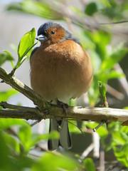 Chaffinch (Padski1945) Tags: bird birds essex chaffinch britishbirds rhsgardens rettendon rhshydehall essexgardens essexscenes birdsofbritain