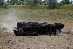 Huddled Around the Watering Hole (Let Ideas Compete) Tags: black dusty animal animals togetherness cow cattle cows angus farm beef cluster group dry together pasture thirsty huddle boulderco bouldercolorado blackangus huddled clustered headsandtails