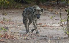 Stalker (philnewton928) Tags: africa wild nature animal southafrica mammal outdoors nikon natural outdoor wildlife safari predator animalplanet hyena krugernationalpark scavenger kruger crocutacrocuta spottedhyena letaba d7200 nikond7200