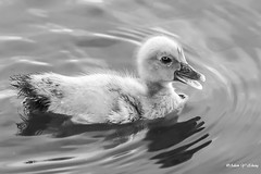 Quack, Quack (   (Thank you, my friends, Adam!) Tags: adamzhang  telephoto nikon dslr         lens central florida wildlife macro closeup flower beauty curve fine art photography photographer excellent gallery quack  cute duckling