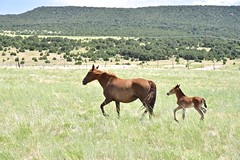 Trip to La Veta, Colorado (Larry1732) Tags: laveta colorado lamsa horses wildhorses foal