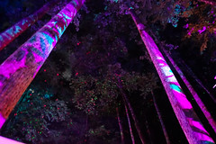 DSC05274 (woodsongsphoto) Tags: rhododendron tree trees pine pines lasers laser light lights trip trippy party up night sky view nature transformus transformus16 transformus2016 asheville camp camping art
