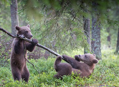 Please, please don't! I give up! (MatsOnni) Tags: karhu pennut brownbear ursusarctos cubs martinselkonen suomussalmi finland