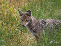 Beautiful Hunter (Maja's Photography) Tags: coyote canada grass closeup canon photography bc hunting parks conservation hungry rodens