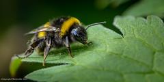 Bee (Baljinder.Gill) Tags: bees bee beemacro nikon nature naturephotography naturewildlife naturemacro macro macronature macrophotography macroinsect insect insectphotography insects