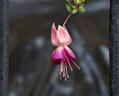single pink fuchsia (Pejasar) Tags: fuchsias pink blossom bloom hang window antigua guatemala
