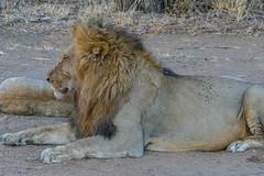 Satisfied (MarcCooper_1950) Tags: lion lioness africa wild wildlife bush safari bigfive predator bigcats biggame animals feline fauna goldenhour sabisands arathusa lodge marccooper panasonic lumix fz1000 leica iightrrom hdr