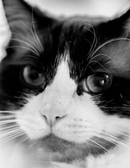 gandalf stare monochrome (PDKImages) Tags: pet cute animal cat nose eyes furry doll fluffy whiskers domestic puss rag pussycat ragdoll moggy househould