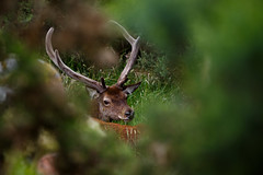 Red Deer Stag (Katherine Hodgson) Tags: red scotland stag wildlife scottish deer hart buck reddeer speanbridge