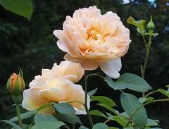 Tea Clipper (Arkensiel Photographs) Tags: tea clipper rose peach apricot green leaves