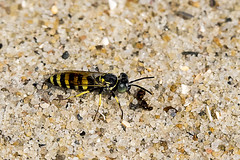 Beach Drama - 071016-092746 (Glenn Anderson.) Tags: wasp insect yellow antenna preditor sand atlantic wings food largeeyes macro closeup