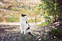 san giovanni di sinis (heavenuphere) Tags: sangiovannidisinis penisoladelsinis sinis peninsula cabras oristano sardegna sardinia sardinie italia italy europe island cat 24105mm