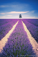 Lavender spirit (Prochasson Frdric) Tags: lavender field violet blooming azur square france nobody sunnylandscape lavendin herbal aroma flower alpesdehauteprovence fragrant summer provence light fragrance valensole picturesque abundance countryside lavande purple lines scented rows french provencealpescote colorful blue plant beauty outdoors scenic beautiful magenta scent aromatherapy landscape