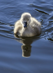 Young signet (syeshop) Tags: blue reflection water swimming canon bay swan marden sigma naturereserve signet mute cygnus whitley olor sigma50500mm canon6d mardenquarry