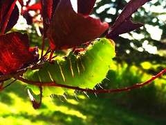 A pretty visitor (+2) (peggyhr) Tags: peggyhr caterpillar green sunshine trees leaves maroon red bokeh bluebirdestates alberta canada yellow thegalaxy thegalaxyhalloffame