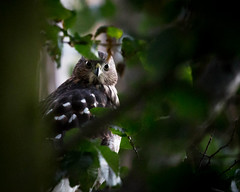 Hawk! (marq4porsche) Tags: tree bird field birds animal animals canon outdoors hawk wildlife 70200 f4