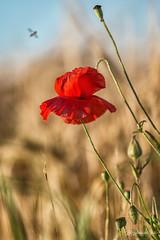 DSC_7093 cran cc (Les Balades de Chris) Tags: flowers nature fleur champs july poppies fields juillet coquelicots