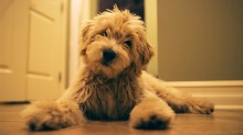 Teddy is one of Lucy Lu and Chewy's adorable boys!!