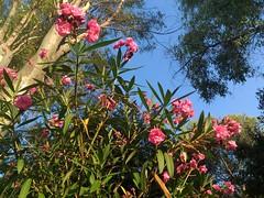 Pink & Blue (Fethphon) Tags: flowers nature fiori sun sole colori italia italy