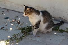 Anglų lietuvių žodynas. Žodis maltese cat reiškia maltos katė lietuviškai.
