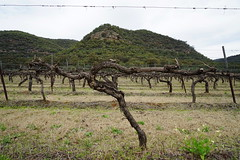 old vines, ancient landscape (Blue Mtns. bush girl) Tags: huntervalley old vines kester shiraz keith tulloch wine foundation members day