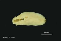 A_elongata_MOL_3902v.jpg (MaKuriwa) Tags: mollusca gastropoda nudibranchia arminidae armina holotipo snail caracol
