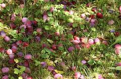 Pflaume wohlriechender Spilling / plum (Prunus domestica ssp.domestica. var. odorata) (HEN-Magonza) Tags: pflaume wohlriechenderspilling plum prunusdomesticasspdomesticavarodorata botanischergartenmainz mainzbotanicalgardens frucht fruit natur nature rheinlandpfalz rhinelandpalatine deutschland germany