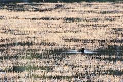 Tukkasotka / Tufted Duck (Merbiili's) Tags: lintuja aquatic bird tukkasotka lintu tufted duck water vesi meri sea