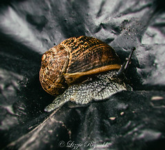 Day 209, 2016, a photo a day. (lizzieisdizzy) Tags: outside outdoors binliner sack rubbish creased crinkled wet snail foot shell antenea slimy damp slippery textured