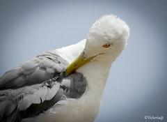 Detalle (victoria@) Tags: canonsx60 gaviotas aves naturaleza