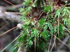 Brachymenium cf radiculosum - Musgo, Bryaceae (penati.rodrigo) Tags: brachymenium brachymeniumradiculosum musgo bryaceae cotia morrogrande caucaiadoalto mataatlantica