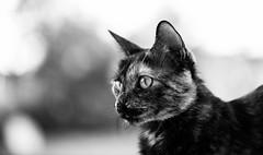 Kira (josechino2424) Tags: kira gatita felino josechino2424