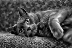 Cat b&w (Jackal1) Tags: cat feline bw moggy pet russianblue canon 50mm bokeh blackandwhitephotos texture