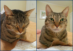 Key West (Florida) Trip 2015 7850-7852 (edgarandron - Busy!) Tags: coco cat cats kitty kitties taby tabbies cute feline florida keys floridakeys keywest blueparrotinn