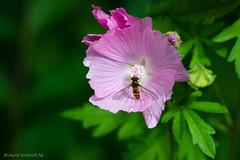 AAF_6174 (De Hollena) Tags: geestmerambacht hoverfly kaasjeskruid malva malvamoschata moschusmalve schwebfliege zweefvlieg