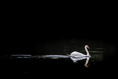 swan (Zed.Cat) Tags: swan bird water swimming gliding