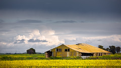 Abandoned shed with canola (RWYoung Images) Tags: rwyoung canon 5d3 abandoned ruraldecay canola crop field farm produce shed yellow millicent southaustralia quantumentanglement